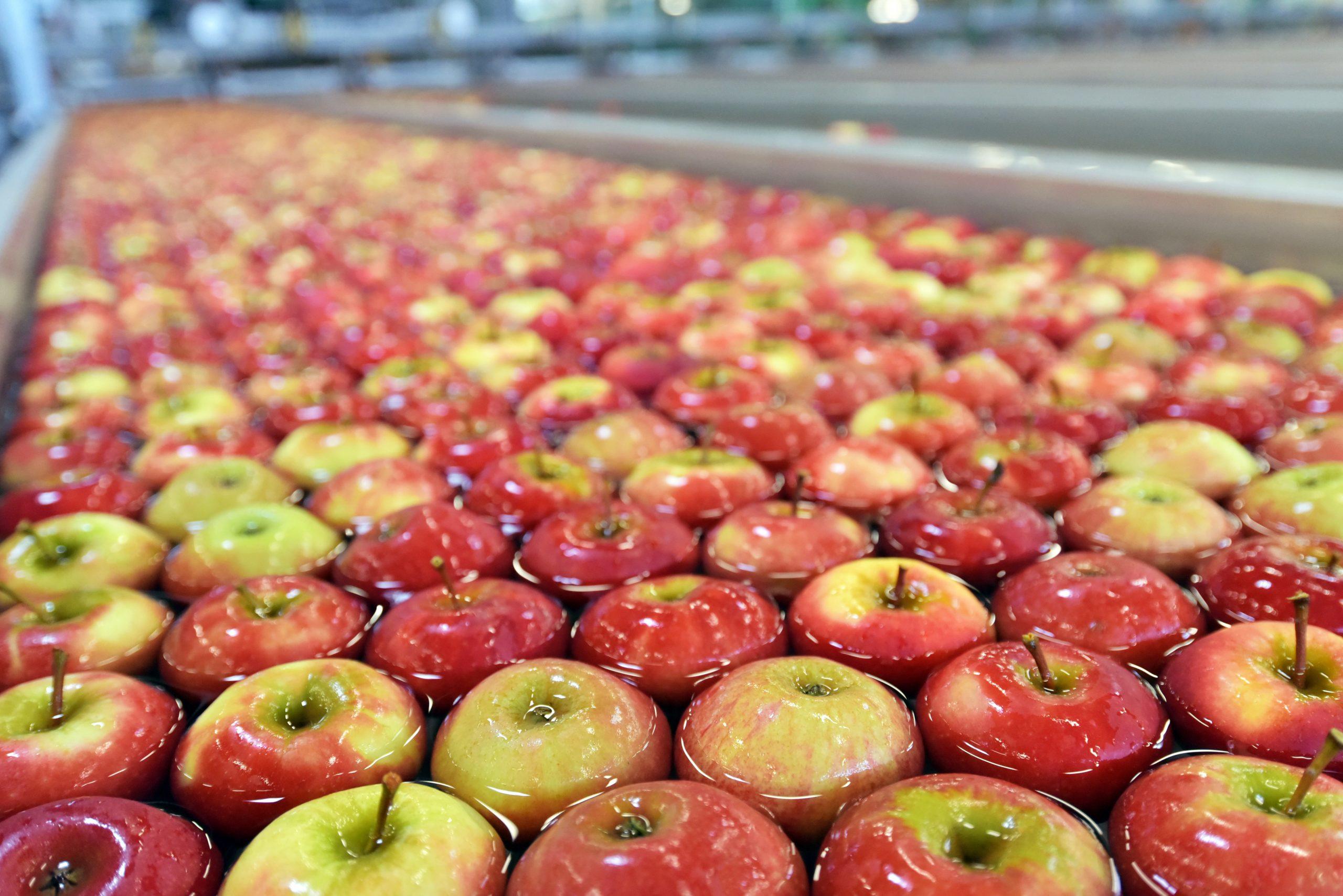 Äpfel in einem großen Transportband gefüllt mit Wasser bei der industriellen Lebensmittelherstellung.
